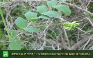 Astragalus glycyphyllus 2 - Photo by Bidar