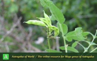 Astragalus glycyphyllus 3 - Photo by Bidar