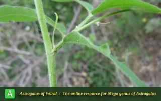 Astragalus glycyphyllus 4 - Photo by Bidar