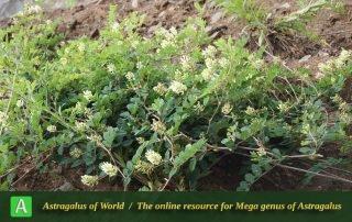 Astragalus glycyphyllus Photo by Mozaffarian