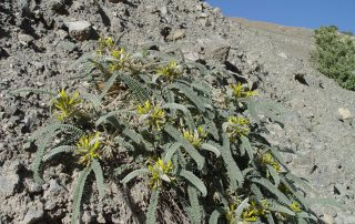 Astragalus vanillae
