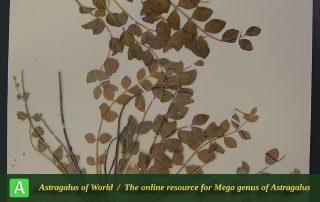 Astragalus akhanii - Hol
