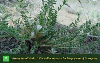 Astragalus erubescens - Khorassan