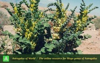 Astragalus kahiricus - Photo by Mozaffarian