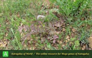 Astragalus macrocephalus 2