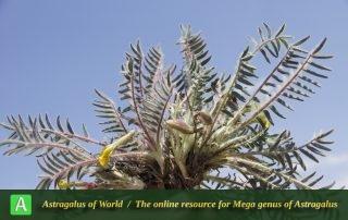 Astragalus urmiensis - Photo by Mozaffarian