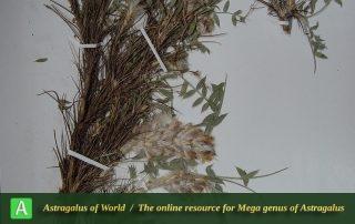 Astragalus ahmad-parsai - Holotypus