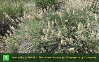 Astragalus bounophilus - Photo by Bagheri
