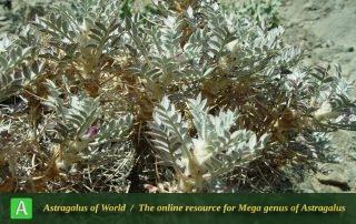 Astragalus crassinervius - Photo by Mozaffarian