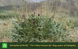 Astragalus cyclophyllon - Photo by Mozaffarian