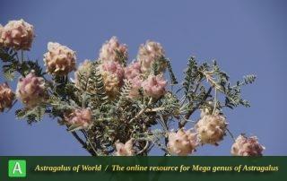 Astragalus demavendicola 3 - Photo by Mozaffarian
