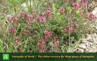 Astragalus demavendicus - Photo by Amini