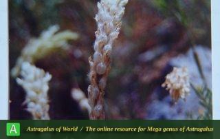 Astragalus doghrunensis