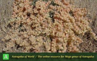 Astragalus flexilipes - Photo by Mozaffarian