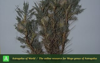 Astragalus ghanbarianii - Holotypus