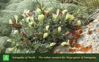 Astragalus gulul-saranii - Photo by Joharchi