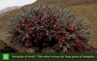 Astragalus hotkanensis - Photo by Mirtadzhaddin