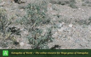 Astragalus jamzadae - Photo by Maassoumi