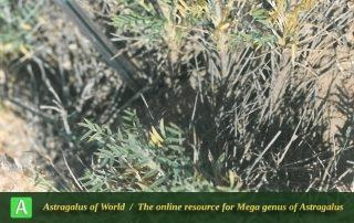 Astragalus kapherrianus - Photo by Bagheri