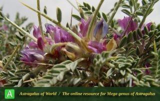 Astragalus lateritiiformis - Photo by Mozaffarian