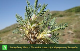 Astragalus microcephalus 2 - Photo by Bidar