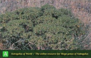 Astragalus microcephalus 3 - Photo by Maassoumi