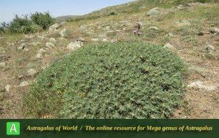 Astragalus microcephalus 4 - Photo by Bidar
