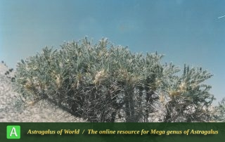 Astragalus microcephalus 5 - Photo by Maassoumi