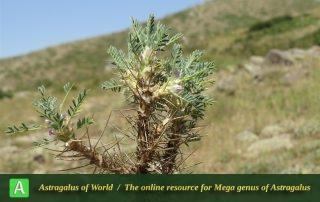 Astragalus microcephalus - Photo by Bidar