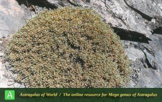 Astragalus neomozaffarianii - Photo by Maassoumi