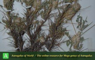 Astragalus nervifolius - Holotypus
