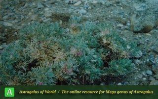 Astragalus polycephalus