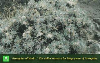 Astragalus polycephalus 2 - Photo by Maassoumi