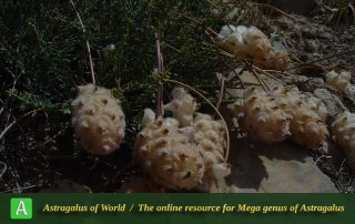 Astragalus-raddei-2-Photo-by-Maassoumi