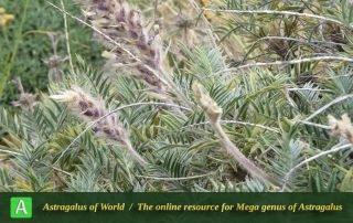 Astragalus rubrostriatus 2 - Photo by Bidar