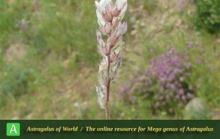 Astragalus rubrostriatus 3 - Photo by Bidar