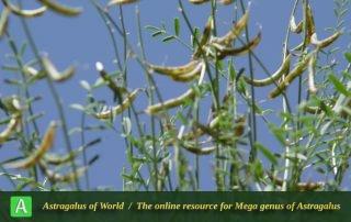 Astragalus siliquosus - Photo by Mozaffarian