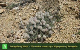 Astragalus zohrabi 2
