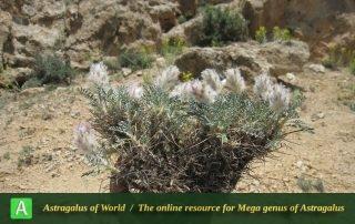 Astragalus zohrabi 3