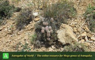 Astragalus zohrabi