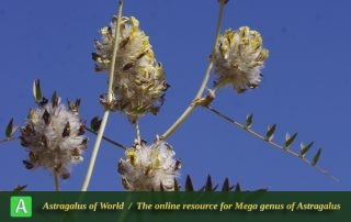 Astragalus-Jessenii-4-Photo-by-Mozaffarian