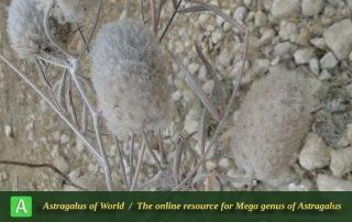 Astragalus Ledinghamii - Photo by Mozaffarian