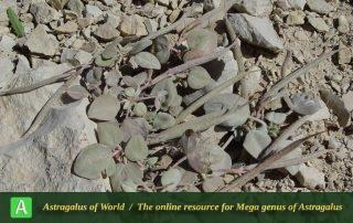 Astragalus abnormalis - Photo by Mozaffarian