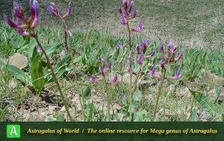 Astragalus ackerbergensis 3 - Khorassan 025