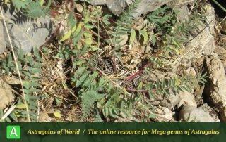 Astragalus aegobromus 2 - Photo by Bidar