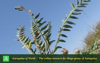 Astragalus aegobromus 3 - Photo by Bidar