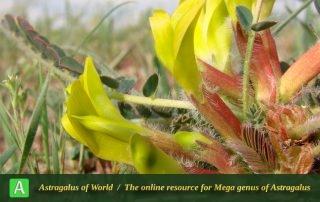 Astragalus aegobromus 4 - Photo by Bagheri