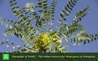 Astragalus aegobromus 5 - Photo by Mozaffarian