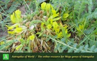 Astragalus aegobromus 6