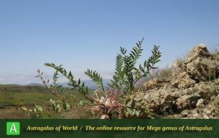 Astragalus aegobromus - Photo by Bidar